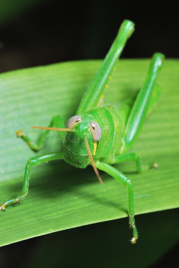 Green Hopper royalty free stock image