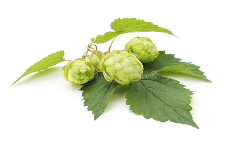 Green hops. royalty free stock images