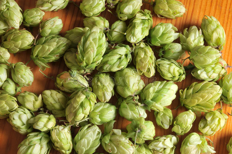 Green hops royalty free stock photo