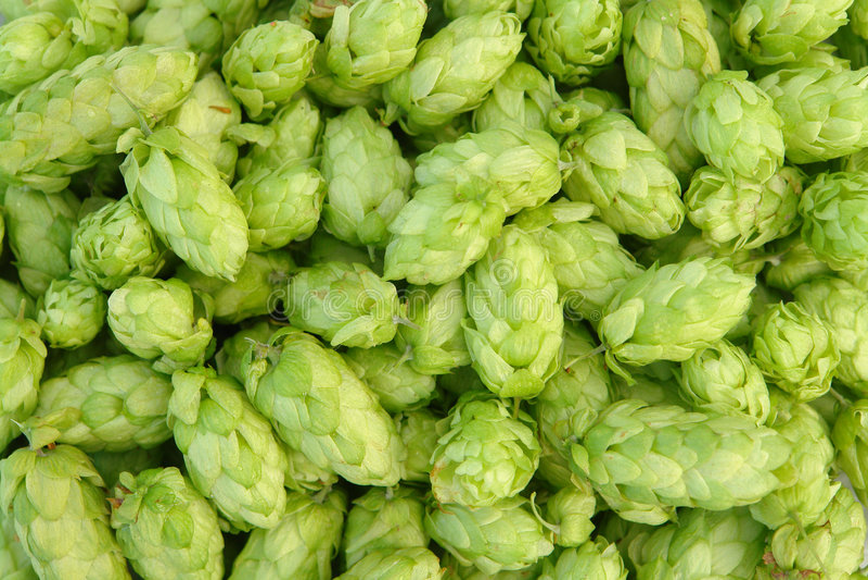 Green Hops Stock Image