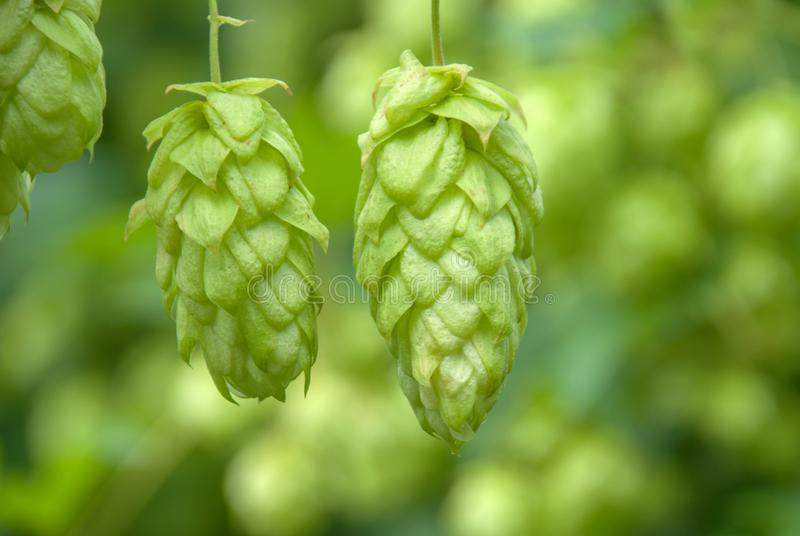 Green hops close up. Green hops is beer ingredient. Green hops agriculture royalty free stock photography