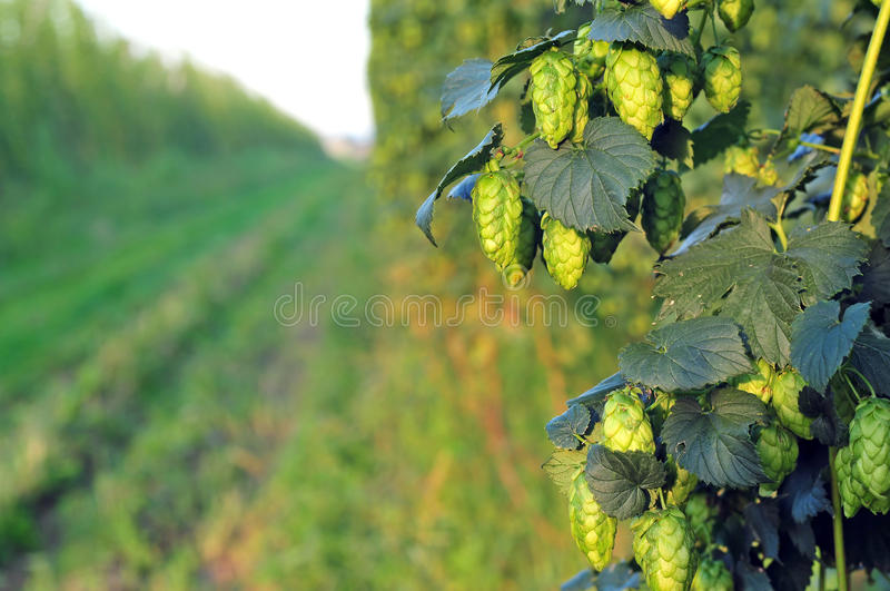 Green hops - close up royalty free stock photos