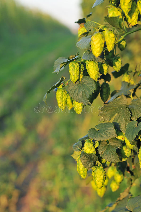 Green hops - close up royalty free stock photography