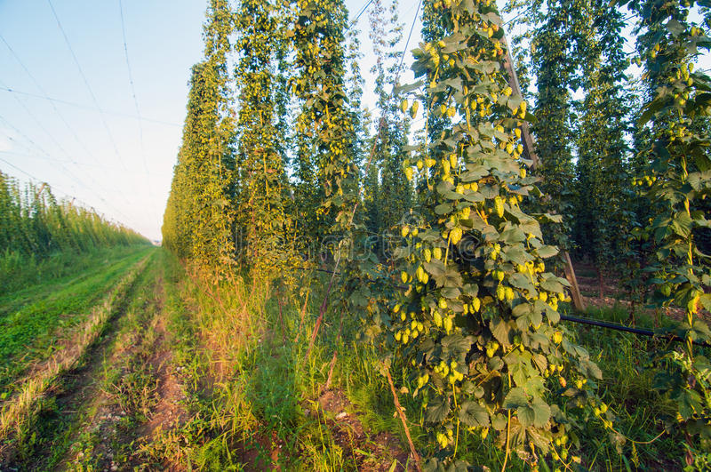 Green hops field stock image