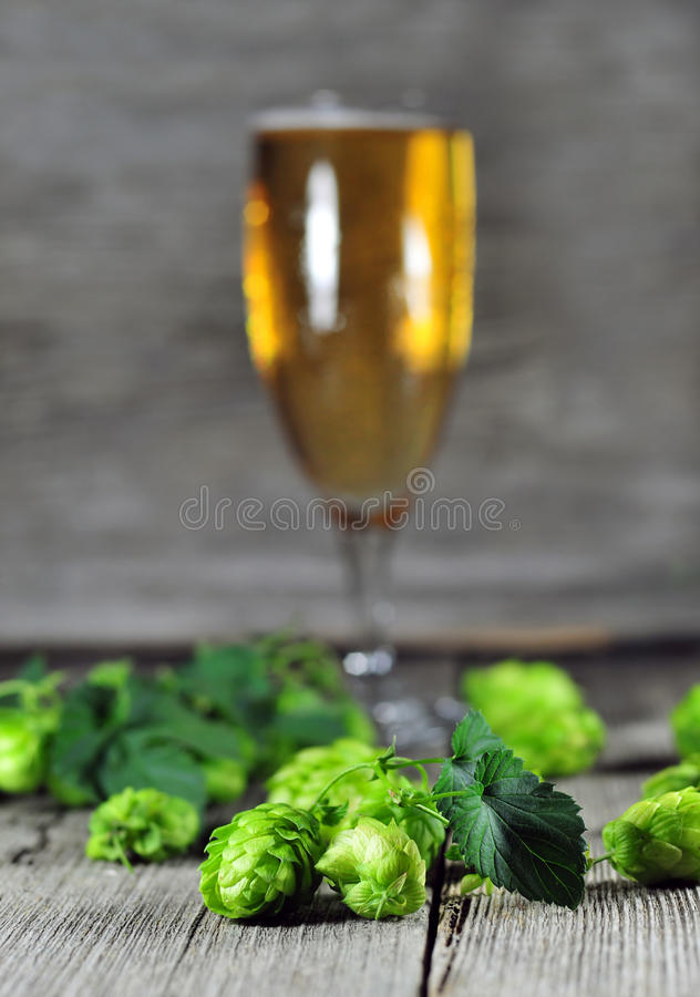 Green hops and glass of beer in the background, very shallow dep royalty free stock photography