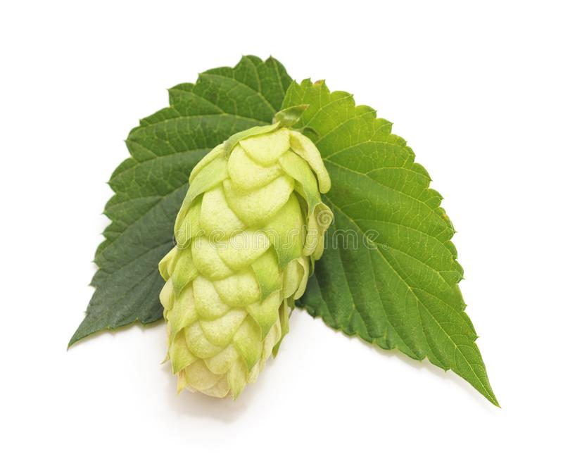 Green hops with leaves. Green hops with leaves on a white background royalty free stock photography