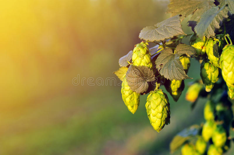 Green hops, lit by warm sun light stock images