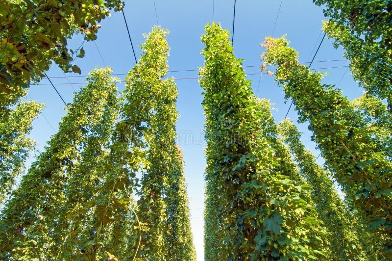 Green hops plantation royalty free stock photography