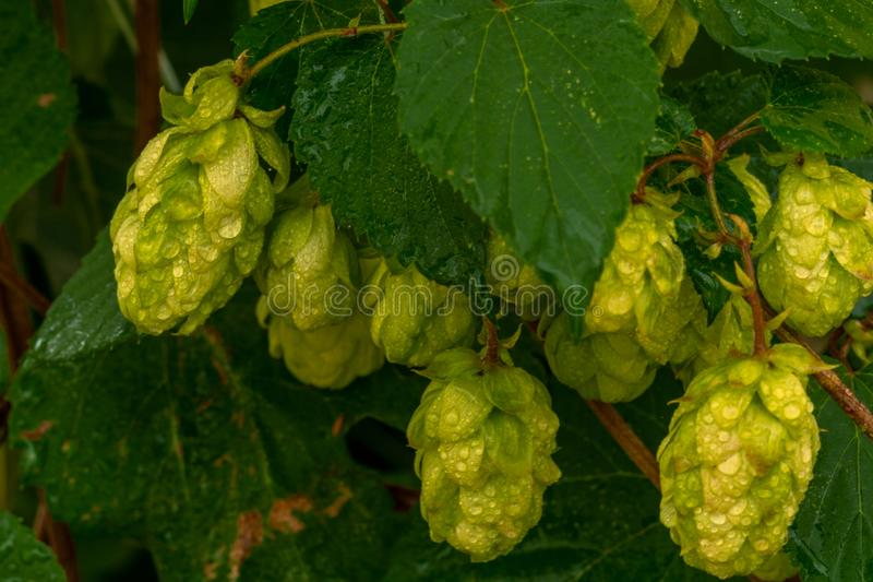 Green hops with water drops with green leaves. In sunshine stock photos