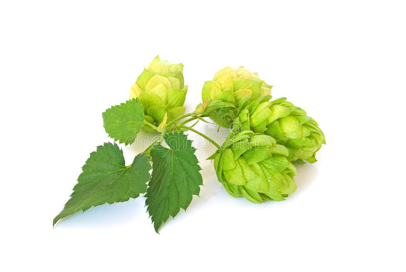 Green hops on white background stock photos