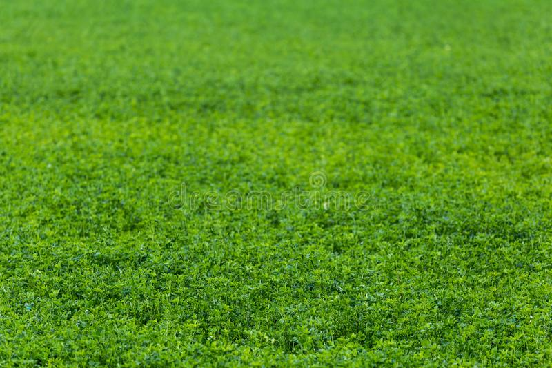 Green horizonless field of agricultural peas selective focus background with lens blur. Green horizonless field of agricultural peas selective focus background stock photography
