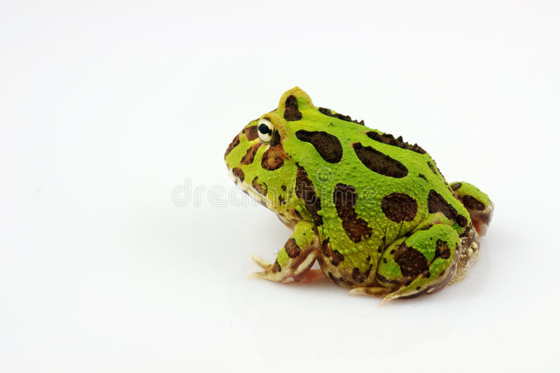Green horned frog. The green horned frog , also known as Amazonian horned frog, is a bulky frog measuring up to 20 cm found in the northern part of South America royalty free stock photos