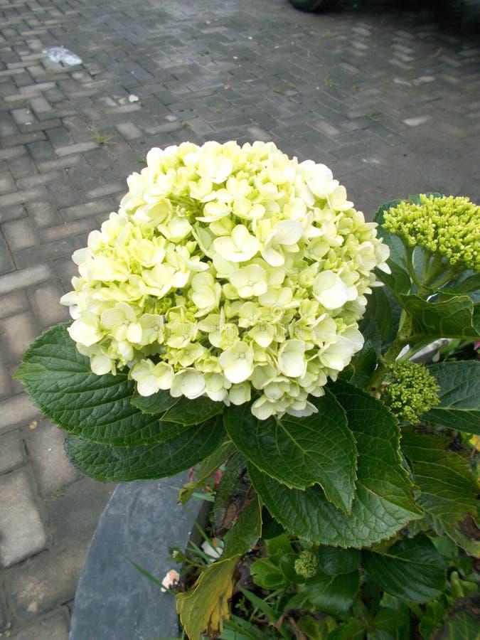 Green hortensia or hydrangea flower closeups. On the tree stock image