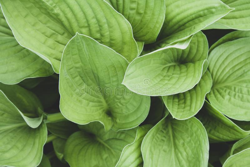 Green hosta leaves top view background. Big green fresh leaves pattern for design, brochure, backdrop, web stock photos