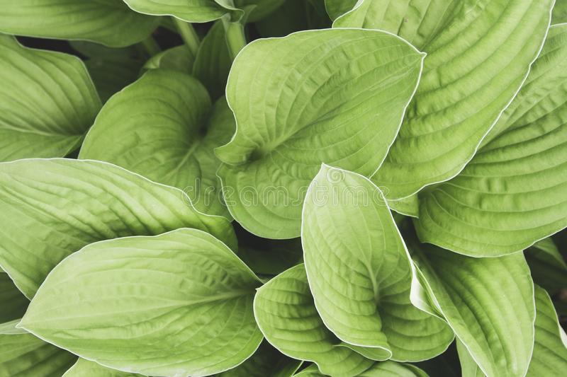 Green hosta leaves top view background. Big green fresh leaves pattern for design, brochure, backdrop, web royalty free stock photography