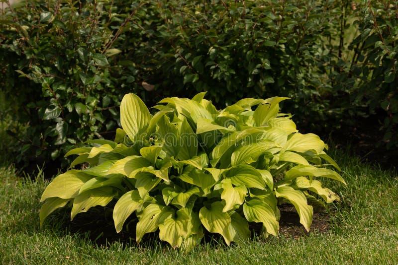 Green hosta plants. Hosta plants in the morning. Sunlit hosta plant on a summers day. Drops of dew on a leaf. Landscape design. Site gardening, background stock image