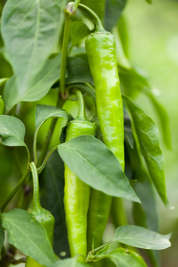 Green hot chilli pepper. Branch with hot green peppers royalty free stock photos