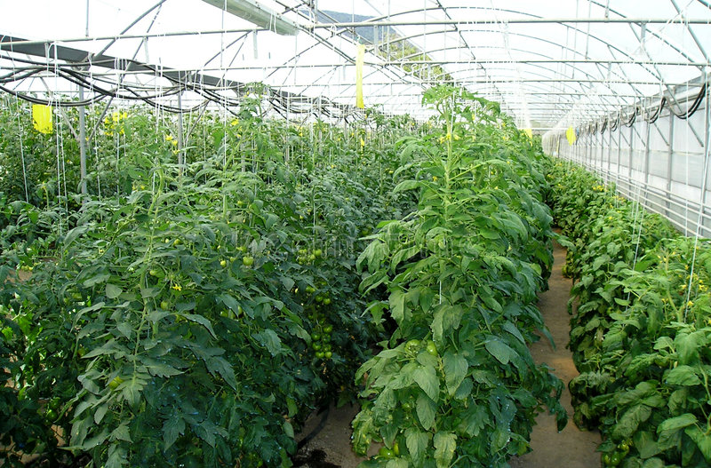 Download Greenhouse for vegetables stock photo. Image of plant, greenhouse - 171656