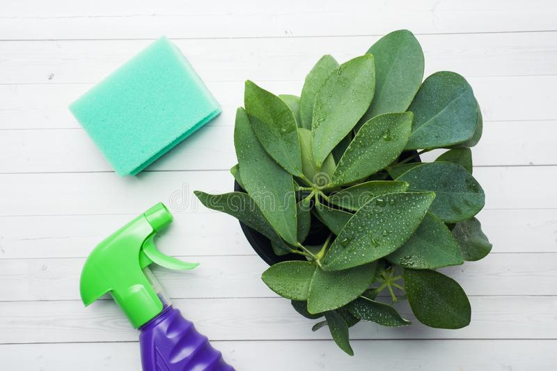 Green house plant in a pot with a spray and a cleaning sponge on a white table.  stock images