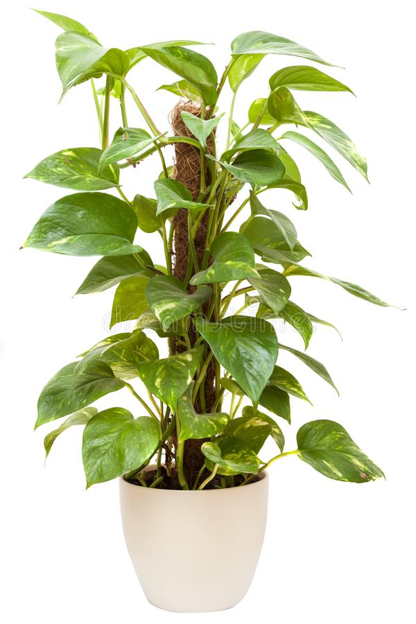 Green House plant. Shot of house plant on white royalty free stock photo
