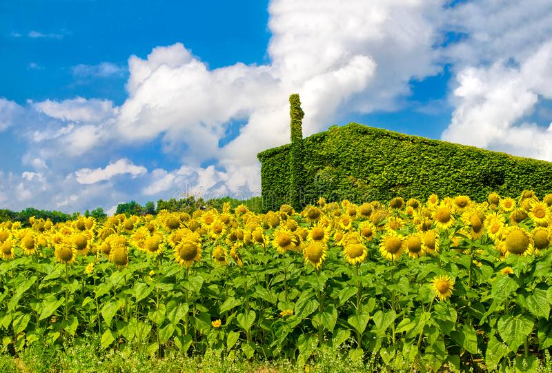 Green house sunflowers sustainable housing background stock images