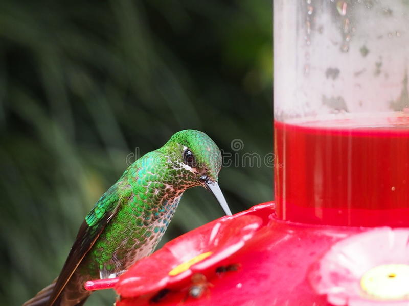 Green humminbird stock photos