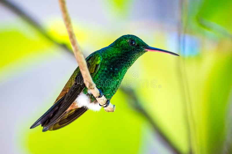 Green hummingbird perched on branch. In the Caribbean Trinidad and Tobago royalty free stock photos