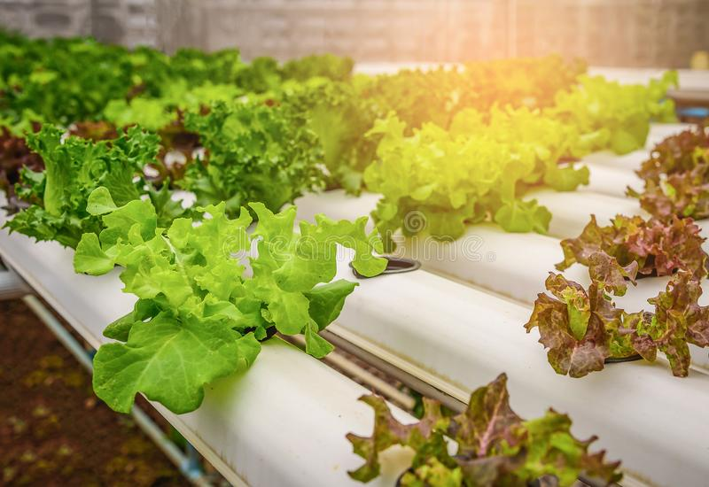 Green hydroponic organic salad vegetable in farm, Thailand. Selective focus stock photo