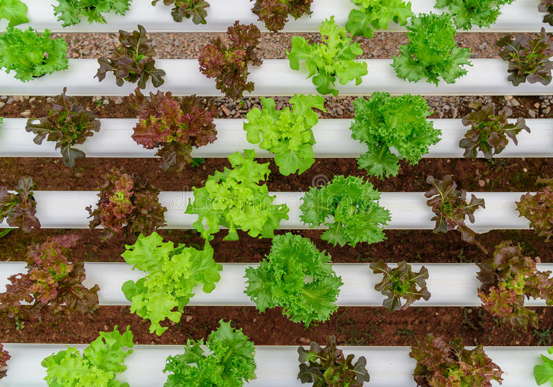 Green hydroponic organic salad vegetable in farm, Thailand. stock image