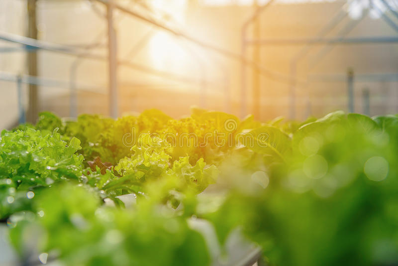 Green hydroponic organic salad vegetable in farm, Thailand. Selective focus stock photos