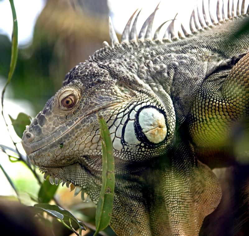 Download Green iguana 10 stock photo. Image of fauna, wildlife - 8826396
