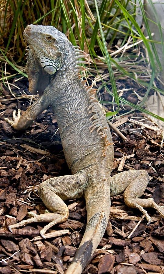 Green iguana 12 royalty free stock photo