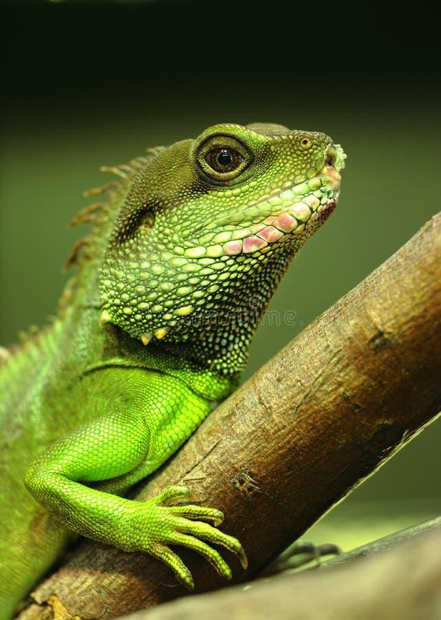 Green iguana. On tree branch royalty free stock image
