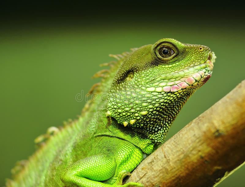 Green iguana. On tree branch royalty free stock images