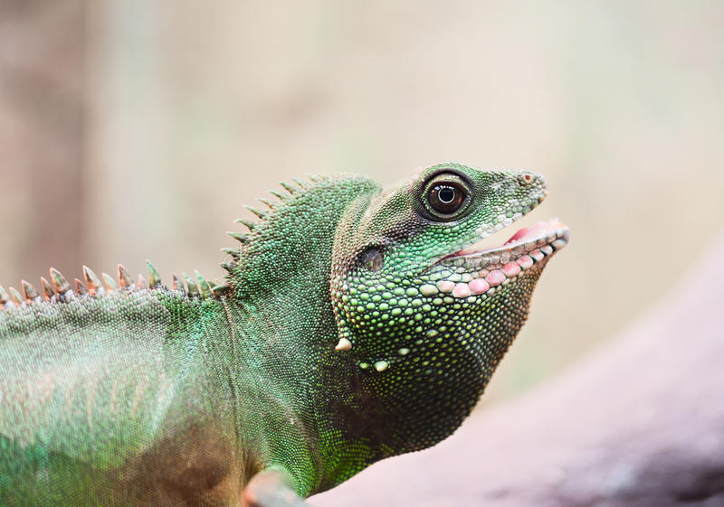 Download Green iguana stock image. Image of background, body, desert - 20245385