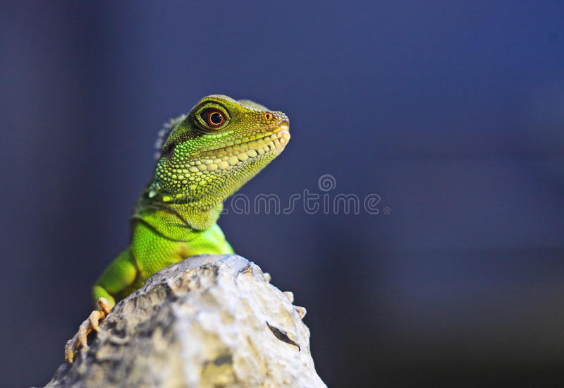 Green iguana. With blue background royalty free stock images