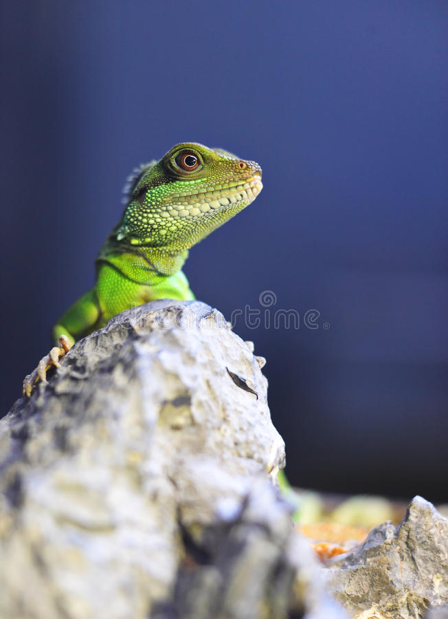 Green iguana. On the rock stock images