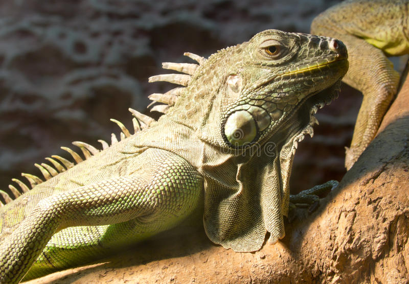 Green iguana. On a tree branch at the zoo stock images