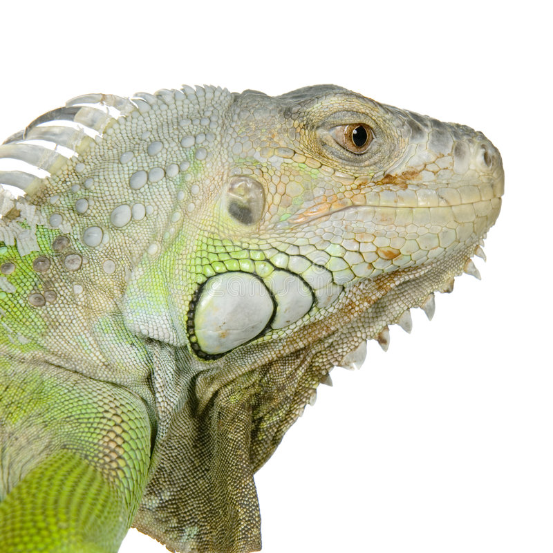 Download Green Iguana Royalty Free Stock Images - Image: 2306489