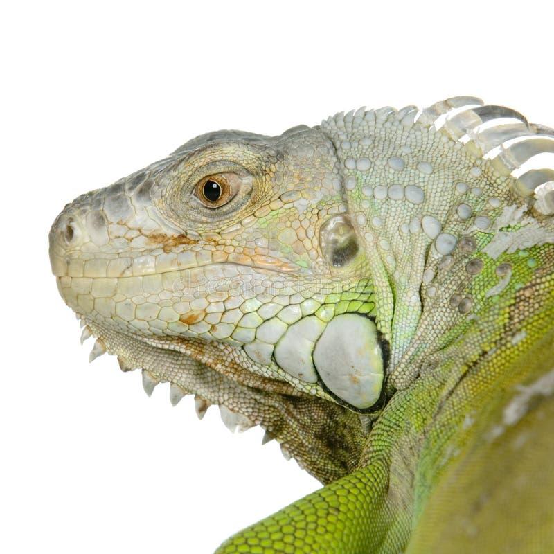Download Green iguana stock photo. Image of crawling, lizard, nature - 2306514