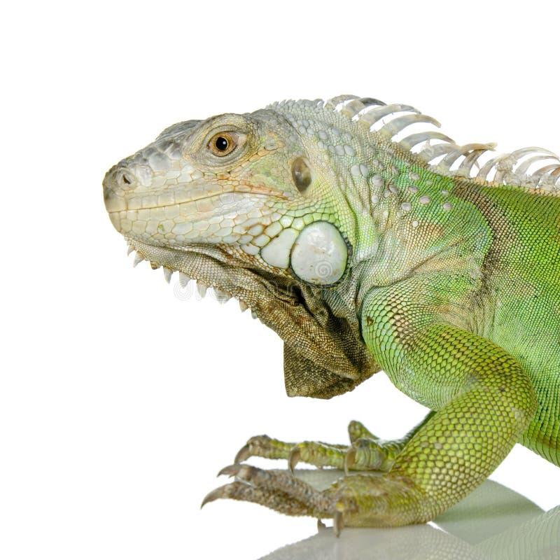 Download Green iguana stock image. Image of spine, crawling, macro - 2306547