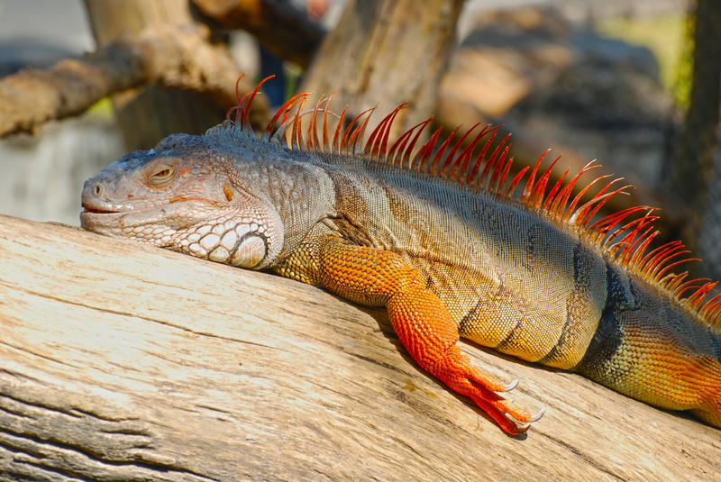 The Green Iguana Royalty Free Stock Images