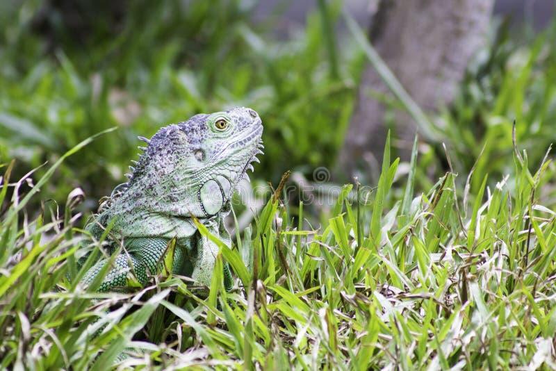 Green iguana. Close-up green iguana in Khao Kheow Open Zoo, Chonburi, Thailand stock photography