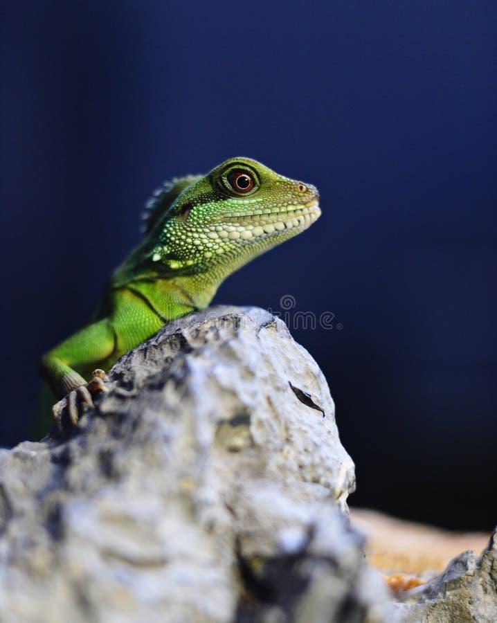 Green iguana. On the rock stock image