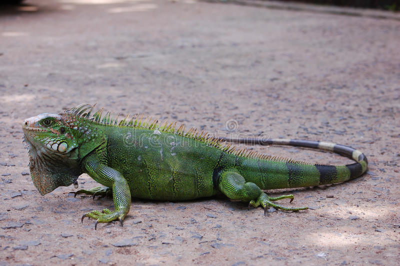Green Iguana. A full body Green Iguana stock image