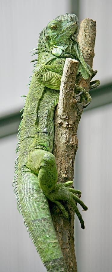 Green Iguana 3 stock photo