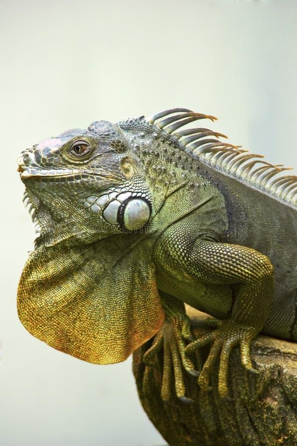 Download Green Iguana stock photo. Image of colorful, iguana, spines - 4955540