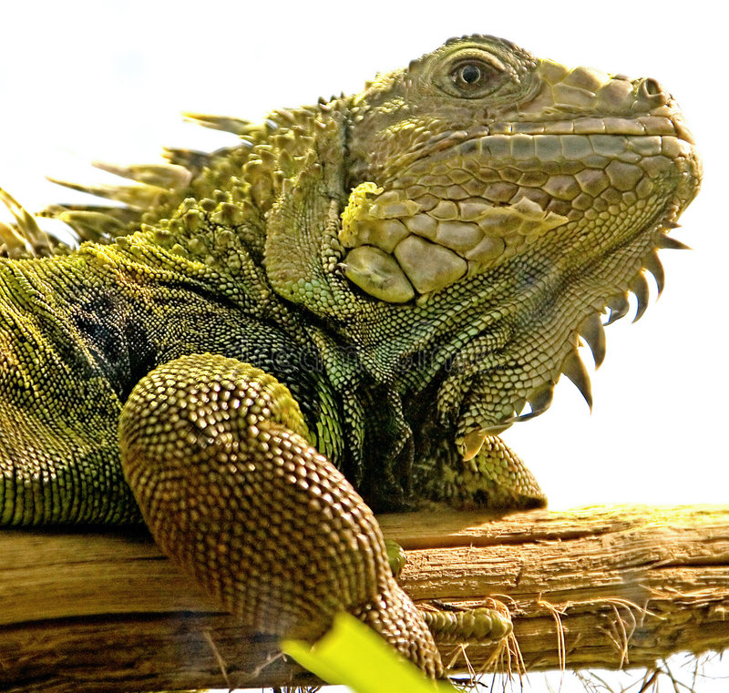 Green iguana 5 stock image