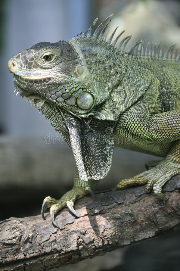 Download Green iguana stock image. Image of head, nature, reptile - 5280011
