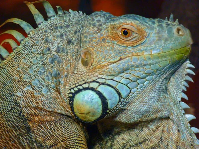 Green Iguana Free Public Domain Cc0 Image